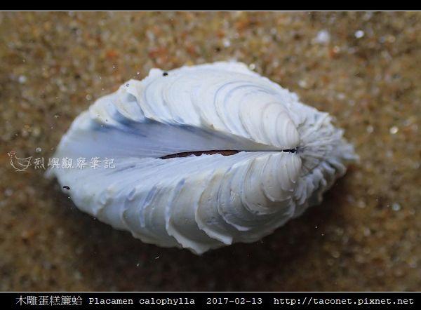 木雕蛋糕簾蛤 Placamen calophylla-2.jpg