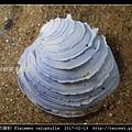 木雕蛋糕簾蛤 Placamen calophylla-4.jpg