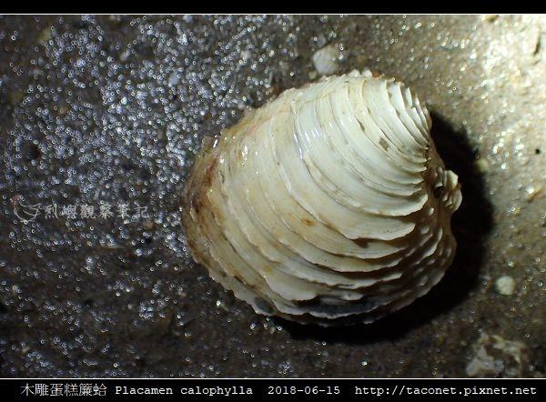 木雕蛋糕簾蛤 Placamen calophylla-7.jpg