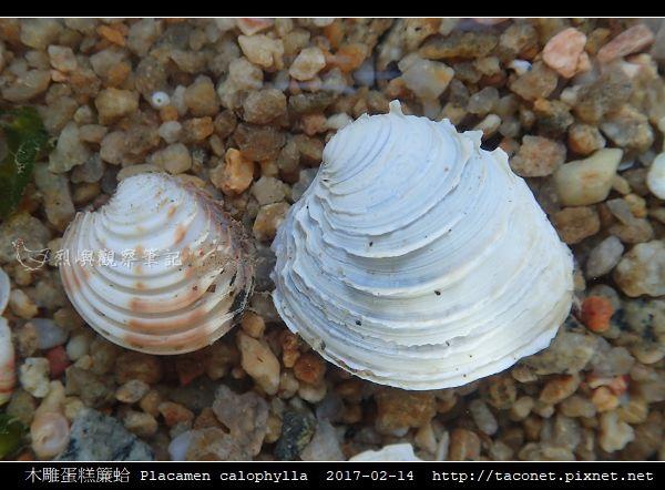木雕蛋糕簾蛤 Placamen calophylla-5.jpg