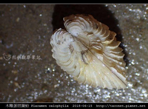 木雕蛋糕簾蛤 Placamen calophylla-8.jpg