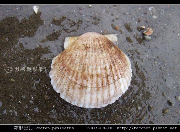 箱形扇貝 Pecten pyxidatus_1.jpg