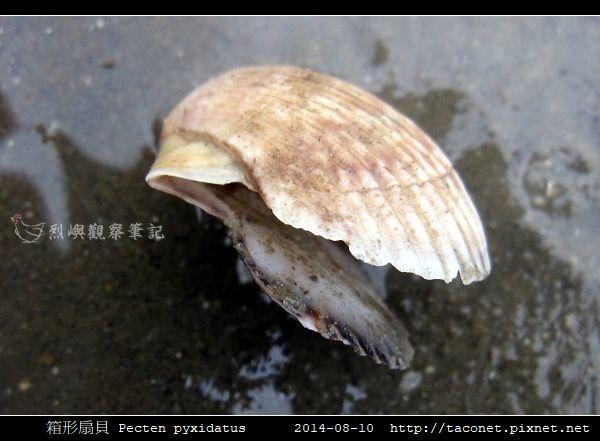 箱形扇貝 Pecten pyxidatus_2.jpg