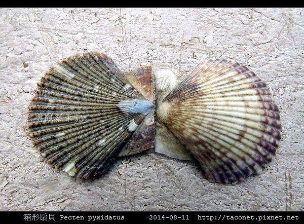 箱形扇貝 Pecten pyxidatus_6.jpg