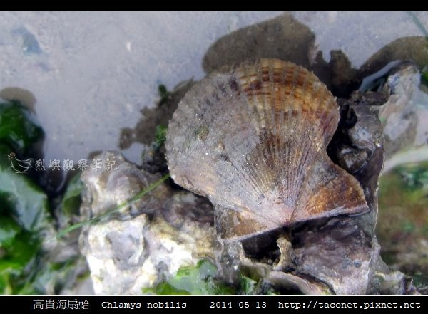 高貴海扇蛤 Chlamys nobilis_01.jpg