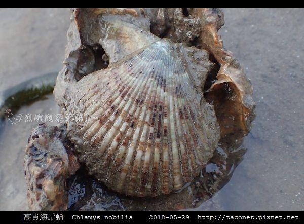 高貴海扇蛤 Chlamys nobilis_04.jpg