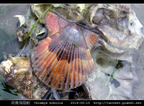高貴海扇蛤 Chlamys nobilis_03.jpg