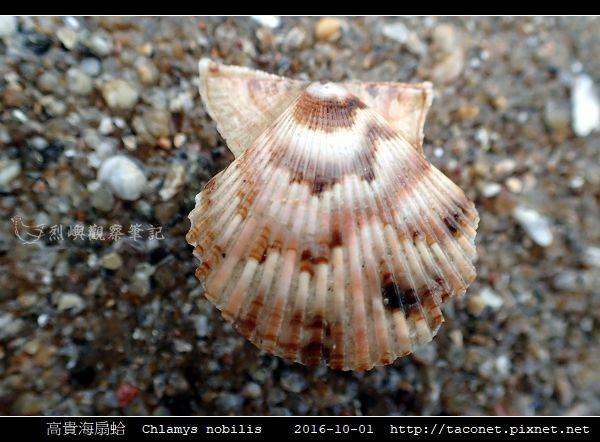 高貴海扇蛤 Chlamys nobilis_06.jpg