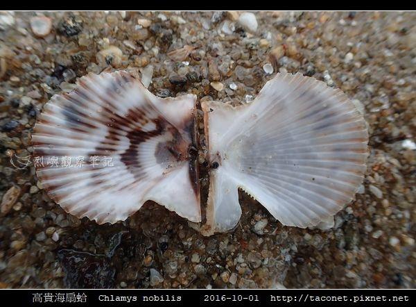 高貴海扇蛤 Chlamys nobilis_08.jpg