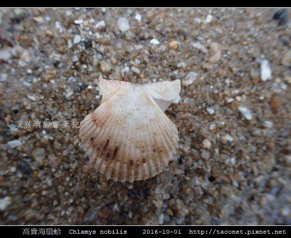高貴海扇蛤 Chlamys nobilis_07.jpg