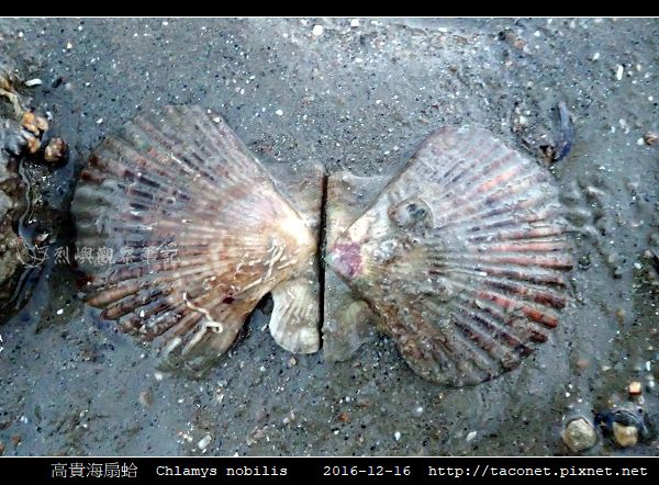 高貴海扇蛤 Chlamys nobilis_11.jpg