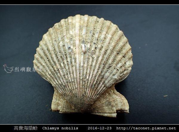 高貴海扇蛤 Chlamys nobilis_12.jpg