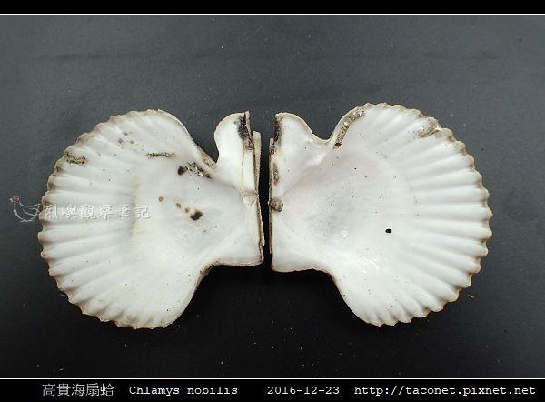 高貴海扇蛤 Chlamys nobilis_14.jpg