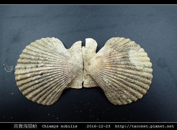 高貴海扇蛤 Chlamys nobilis_13.jpg