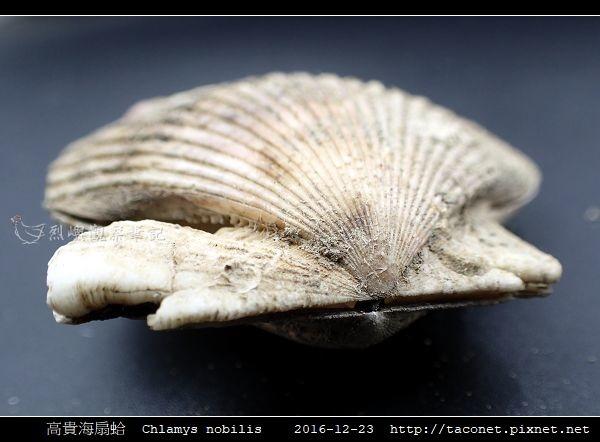 高貴海扇蛤 Chlamys nobilis_16.jpg