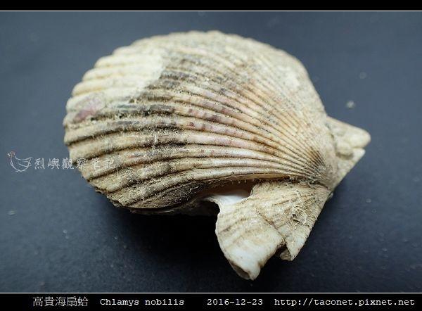 高貴海扇蛤 Chlamys nobilis_15.jpg
