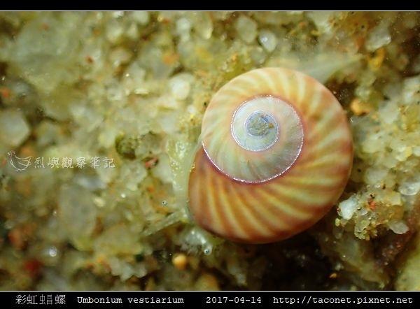 彩虹䗉螺 Umbonium vestiarium_06.jpg