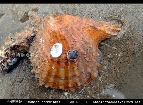 台灣鶯蛤 Pinctada chemnitzii_2.jpg
