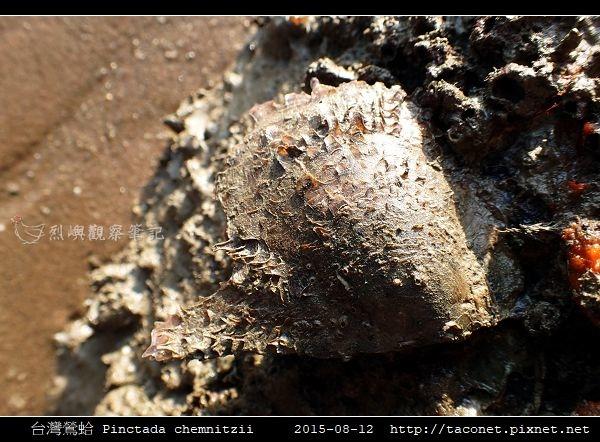 台灣鶯蛤 Pinctada chemnitzii_5.jpg
