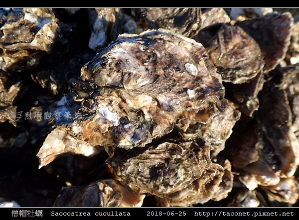 僧帽牡蠣  Saccostrea cucullata_04.jpg