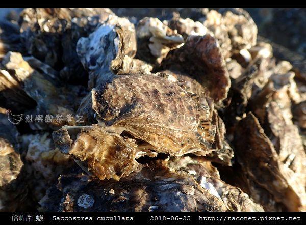 僧帽牡蠣  Saccostrea cucullata_06.jpg