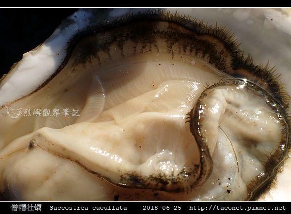 僧帽牡蠣  Saccostrea cucullata_08.jpg