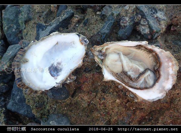 僧帽牡蠣  Saccostrea cucullata_10.jpg