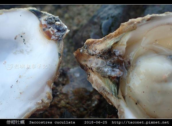 僧帽牡蠣  Saccostrea cucullata_11.jpg