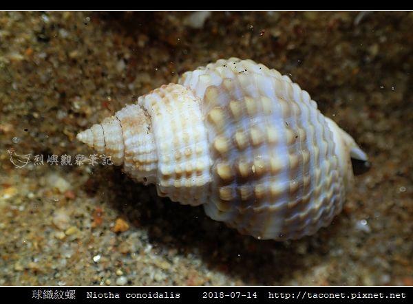 球織紋螺 Niotha conoidalis_3.jpg