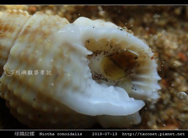 球織紋螺 Niotha conoidalis_2.jpg