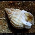 球織紋螺 Niotha conoidalis_5.jpg