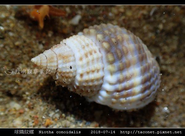 球織紋螺 Niotha conoidalis_4.jpg