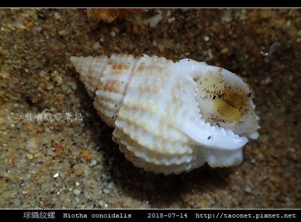 球織紋螺 Niotha conoidalis_6.jpg