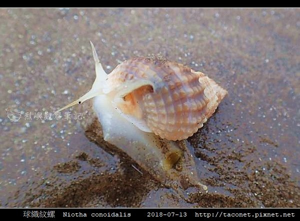 球織紋螺 Niotha conoidalis_7.jpg