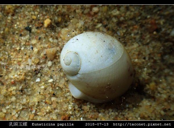 乳頭玉螺 Eunaticina papilla_02.jpg