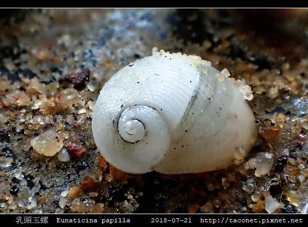 乳頭玉螺 Eunaticina papilla_10.jpg