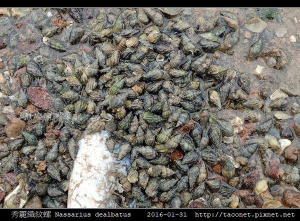 秀麗織紋螺 Nassarius dealbatus_1.jpg