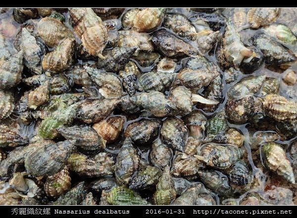 秀麗織紋螺 Nassarius dealbatus_2.jpg