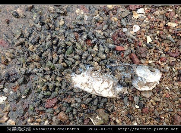 秀麗織紋螺 Nassarius dealbatus_3.jpg