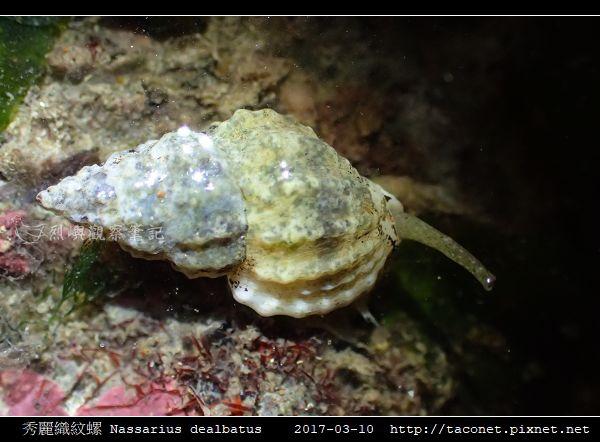 秀麗織紋螺 Nassarius dealbatus_6.jpg