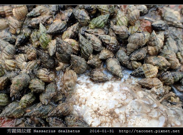 秀麗織紋螺 Nassarius dealbatus_5.jpg