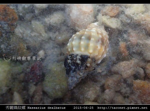秀麗織紋螺 Nassarius dealbatus_8.jpg