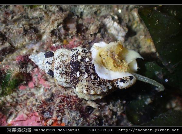 秀麗織紋螺 Nassarius dealbatus_7.jpg