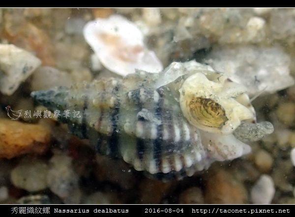 秀麗織紋螺 Nassarius dealbatus_9.jpg