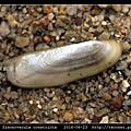 毛蟶蛤 Sinonovacula constricta_2.jpg