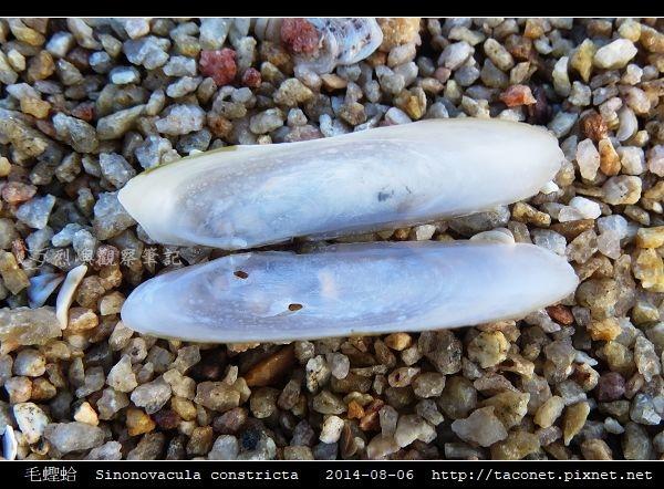 毛蟶蛤 Sinonovacula constricta_4.jpg
