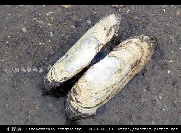 毛蟶蛤 Sinonovacula constricta_6.jpg