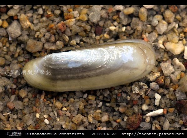 毛蟶蛤 Sinonovacula constricta_7.jpg