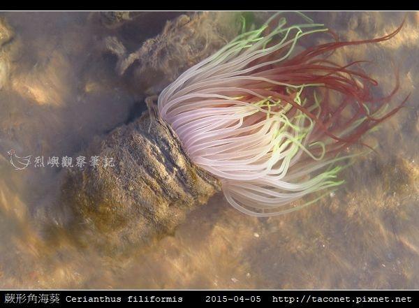 蕨形角海葵 Cerianthus filiformis_01.jpg