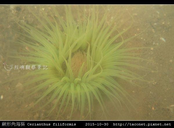 蕨形角海葵 Cerianthus filiformis_14.jpg